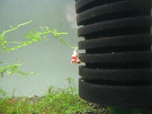 Sグレードレッドビーシュリンプ抱卵1