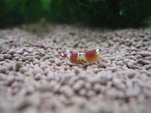 レッドビーシュリンプ抱卵固体
